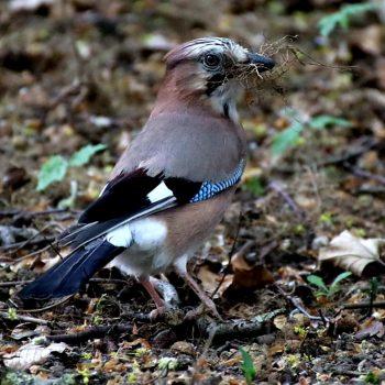 Geai qui prépare son nid