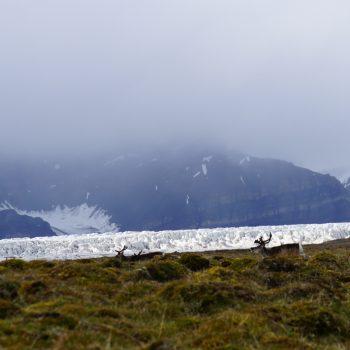 Les rennes arctique en promenade avec vue sur le glacier