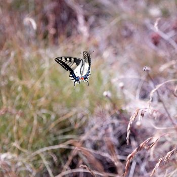Machaon en vol