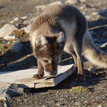 Rencontre avec un renard arctique à 4h du matin