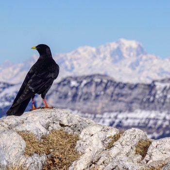 Chocard à bec jaune sur fond de Mont Blanc