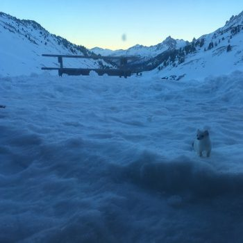 Hermine des neiges