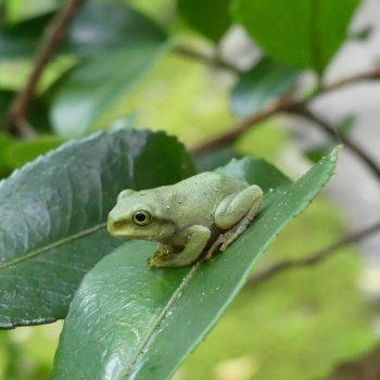 Mini grenouille japonaise